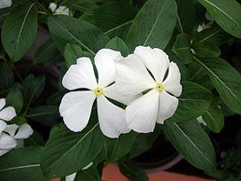 Catharanthus_roseus_(3)